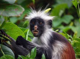 zanzibar_red_colobus_monkey_tanzania_africa_cel_tours